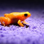 A Golden Mantella frog at Chester Zoo is injected in its leg with a fluorescent silicon gel which allows keepers to identify individuals in their group of 80 frogs. Amphibian experts will monitor the effectiveness of the implants and if deemed a success the process will be used to track the species in their native home of Madagascar. <span class=