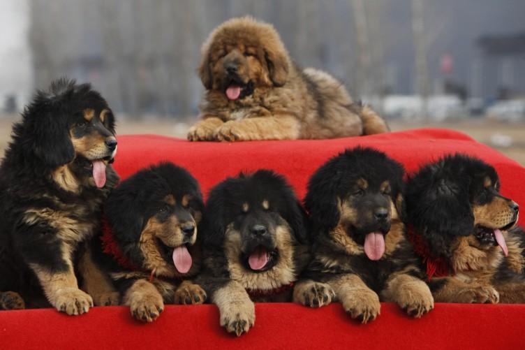 Red Tibetan Mastiff Price