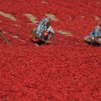Indian women sort red chillies to dry at Shertha village in the western Indian state of Gujarat.<span class=
