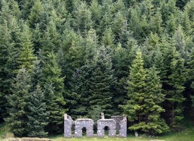 Pine woods near Glendalough.