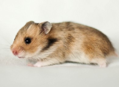 This is NOT a Great Hamster of Alsace