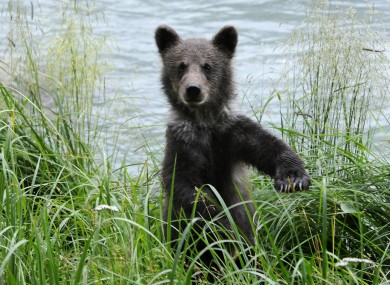 File photo of a brown bear cub