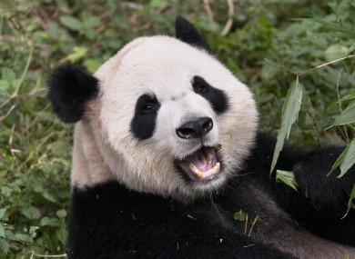 Panda at the Chungu centre (Not Ai Hin)