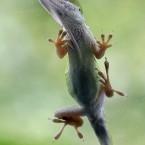 A Green Anole clings to a window in San Antonio.<span class=