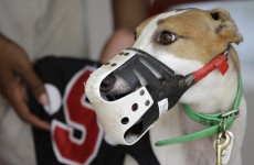 Irish greyhounds are going global, but industry still gone to dogs