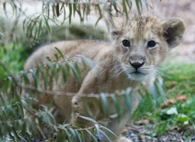 New cub at Dublin Zoo is attracting visitors.