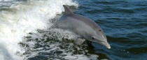 File photo of a bottlenose dolphin
