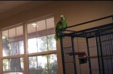 Here's why you should NEVER play the violin around a parrot