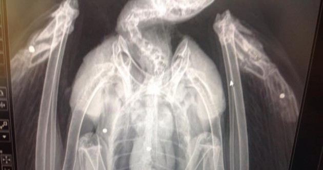 Buzzard shot and left for dead in Westmeath