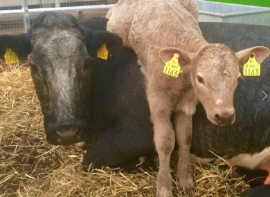 An Irish Product That Predicts When A Cow Will Give Birth Is About