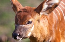 Take a break and look at Dublin Zoo's new baby bongo