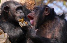 A New York judge may have just recognised two chimps as legal persons