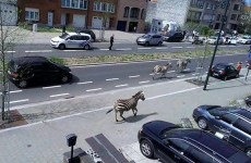 Three rogue zebras on the loose caused chaos in Brussels this afternoon