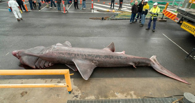 Australian fishermen accidentally catch extremely rare giant basking shark