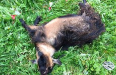 An animal rescue charity found a dead pygmy goat in a field in west Dublin