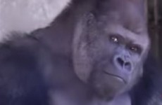 People have become really obsessed with this 'hunky' gorilla (seriously)