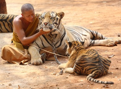 File image of a tiger at the temple.