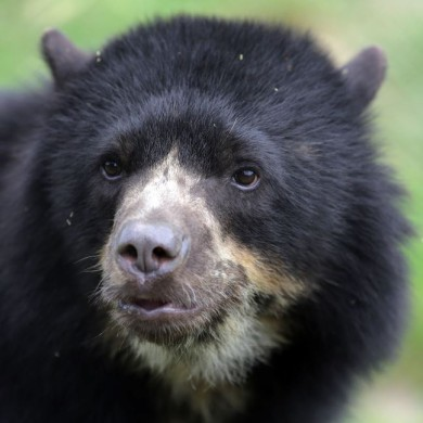 A female spectacled bear named Ryna, one of two of the bears native to South America that are making their public debut at Port Lympne Wild Animal Park near Ashford, Kent, explores her new enclosure.