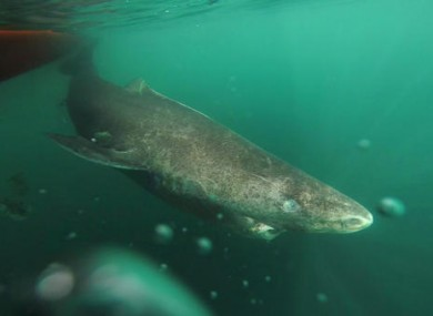 Undated photo of a Greenland shark slowly swimming away from a boat, returning to the deep and cold waters of the Uummannaq Fjord in northwestern Greenland.