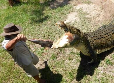 Bredl feeds a crocodile.