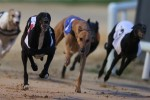 Theft of �1 million racing dog 'is Shergar story of greyhound industry'