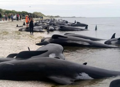 Volunteers are still trying to save around 100 of the whales.