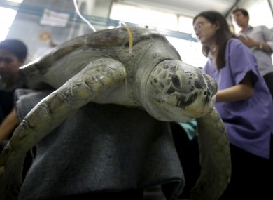 The turtle receiving treatment earlier this month