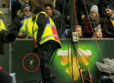 A steward removes a rat from the pitch.