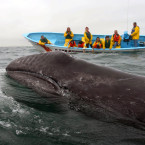 Every winter, thousands of gray whales migrate some 6,000 miles south to breeding grounds in Baja California.<span class=