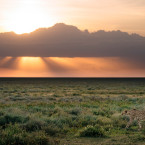 A cheetah struts across Serengeti National Park.<span class=