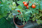 A single tomato plant can produce 200 tomatoes in a season, here's how to sow them