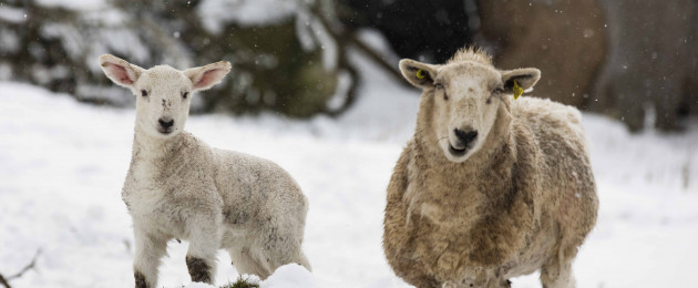 Sheep at a farm in Rosetown, Co Kildare, pictured in the snow today.