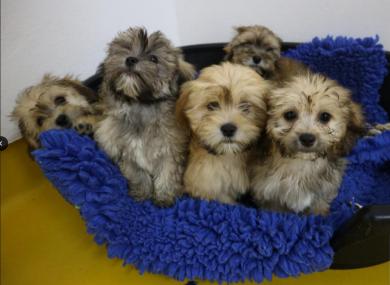Shih Tzu puppies in ISPCA care