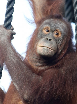 File image of orangutans on the high wire at Dublin Zoo.