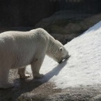A polar bear eats artificial snow in Moscow Zoo to cool down during the heatwave. (AP Photo/Misha Japaridze)