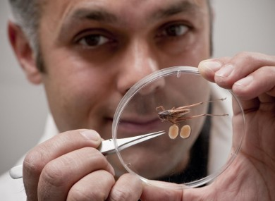 Karim Vahed with a tuberous bush cricket, and its testes.