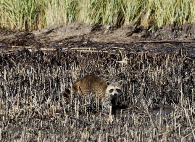 A raccoon walks in an oil-impacted area of marsh grass in Bay Jimmy near the Louisiana coast on 29 October, 2010.