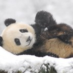 It's been a hard week. Take a break and smile at this panda playing in snow at Ya'an Bifengxia Panda Base in Ya'an, Sichuan province of China, this week.