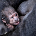 The baby gorilla born at Dublin Zoo just in time for Mother's Day. Pic: Dublin Zoo.
