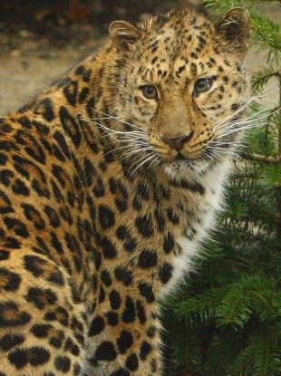An amur leopard (File photo)