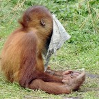 A young orang-utan plays at the zoo in Dortmund, Germany. (AP Photo/Martin Meissner)