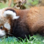 Red pandas have thick, dense fur and a long, bushy tail to keep them warm.  ©Patrick Bolger Photography 2011