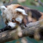 Red pandas are endangered in the wild but Dublin Zoo's new arrivals are well protected by their mother, Angelina.   ©Patrick Bolger Photography 2011