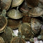 Mud turtles crawl inside a basket as they are shown to the press during a news conference by Thai customs in Bangkok, Thailand, Thursday, June 2, 2011. Thai customs authorities say 431 turtles and other rare reptiles were stuffed into four suitcases and smuggled into the Bangkok airport. (AP Photo/Apichart Weerawong)