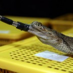 An Indian gharial, a type of crocodile native to India, is shown to the press during a news conference in Bangkok, Thailand, Thursday, June 2, 2011. Thai customs authorities say 431 turtles and other rare reptiles were stuffed into four suitcases and smuggled into the Bangkok airport. (AP Photo/Apichart Weerawong)