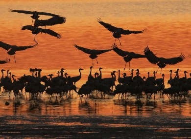 Migrating cranes land in Straussfurt, Germany this evening