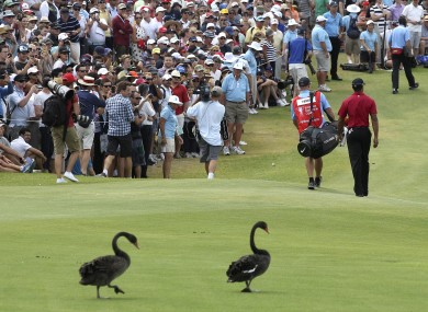 Two black swans follow Tiger Woods during the fourth round of the Australian Open this weekend.