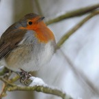 A plump robin sits on a snow covered branch in Allenheads, Hexham, England. (Owen Humphreys/PA Wire)