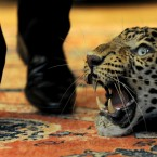 A man walks past a leopard's skin with mounted head. (2009 auction)