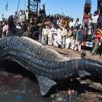 Fishermen say they found the 40-foot whale dead near Karachi in the Arabian Sea. (AP Photo/PA Images)